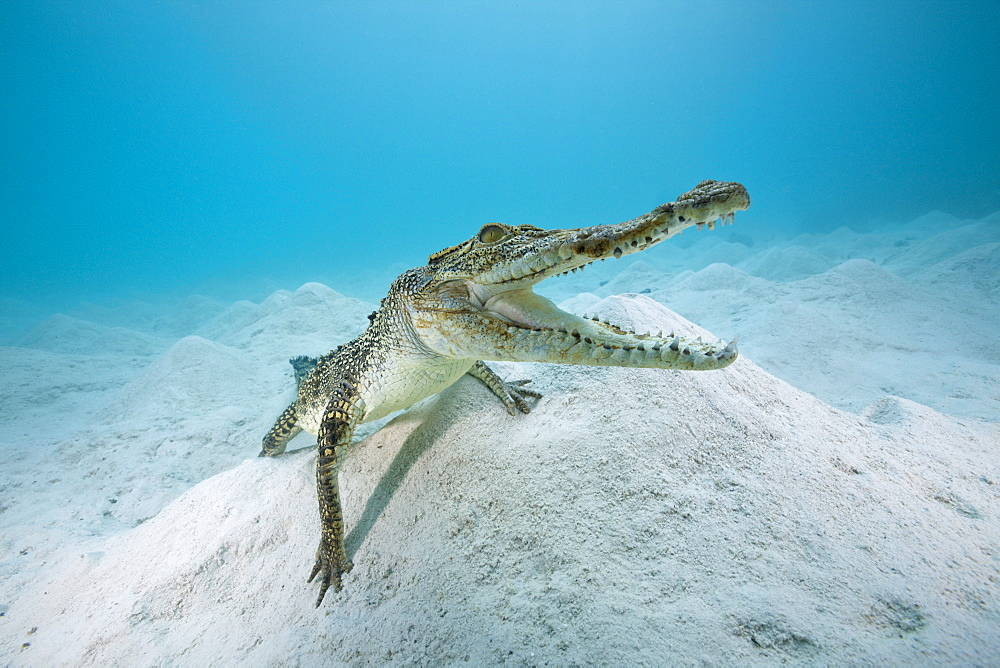 Saltwater Crocodile, Crocodylus porosus, Queensland, Australia - 857-94659