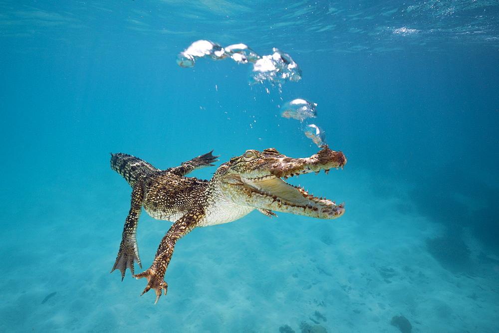 Saltwater Crocodile, Crocodylus porosus, Queensland, Australia - 857-94660