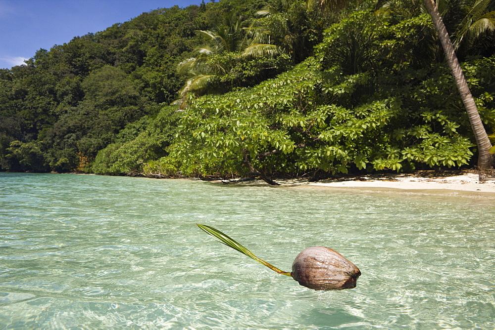 Coconut floating in Lagoon, Micronesia, Palau