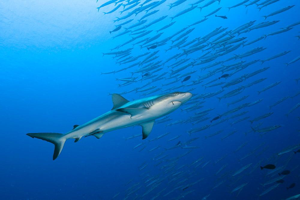 Grey Reef Shark and Barracudas, Carcharhinus amblyrhynchos, Ulong Channel, Micronesia, Palau