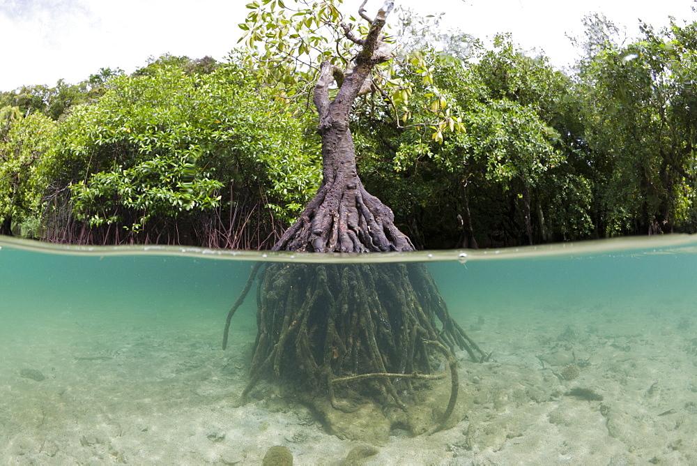 Risong Bay Mangroves, Risong Bay, Micronesia, Palau - 857-94681