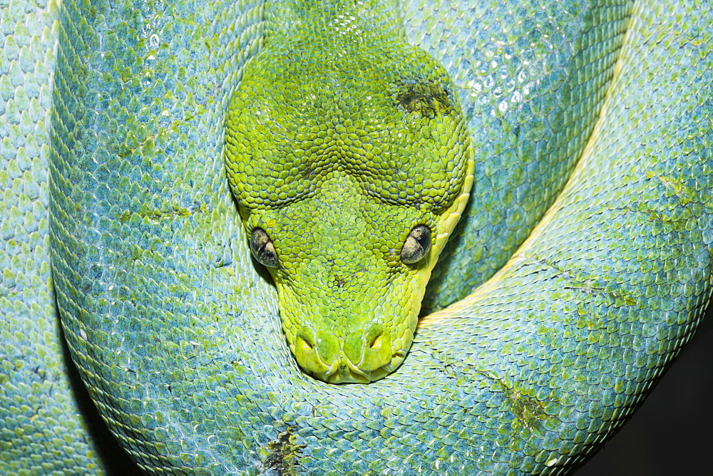 Green Tree Python, Morelia viridis, West Papua, Misool, Indonesia