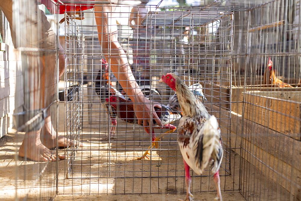 Cock in cage at cock fighting training arena, Vinales, Pinar del Rio Province, Cuba - 857-95427