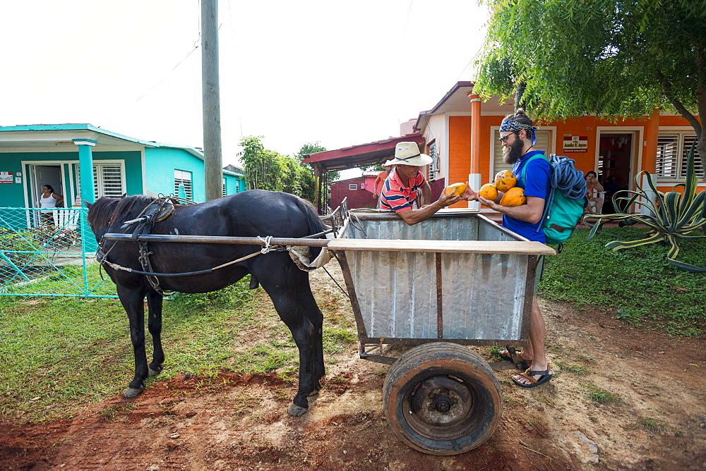 Two men loading fresh papayas on horse cart, Vinales, Pinar del Rio Province, Cuba - 857-95494