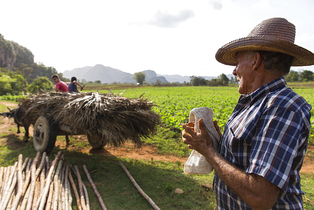 Side view shot of farmer working in field, Vinales, Pinar del Rio Province, Cuba