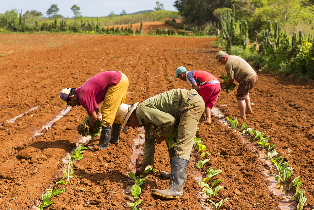 Side view of small group of busy tobacco farmers planting tobacco in field, Vinales, Pinar del Rio Province, Cuba