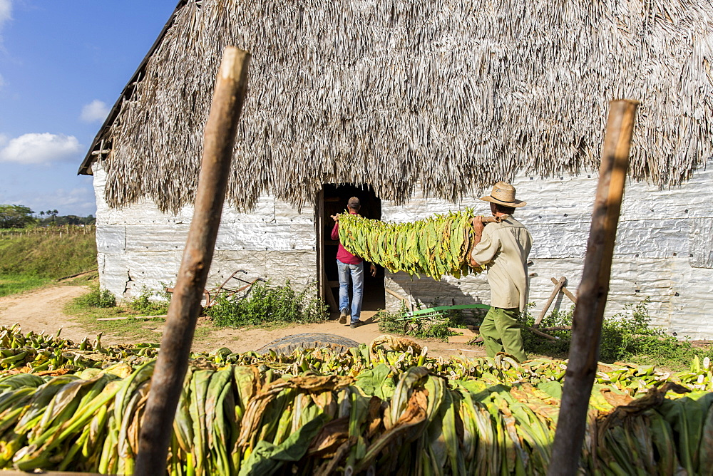 Two men carrying tobacco leaves in plantation, Vinales, Pinar del Rio Province, Cuba