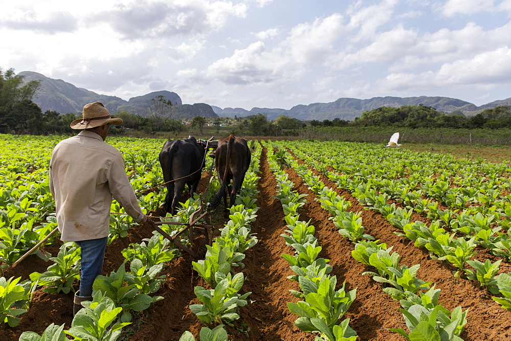 Farmer using cattle to plow vast tobacco field, Vinales, Pinar del Rio Province, Cuba