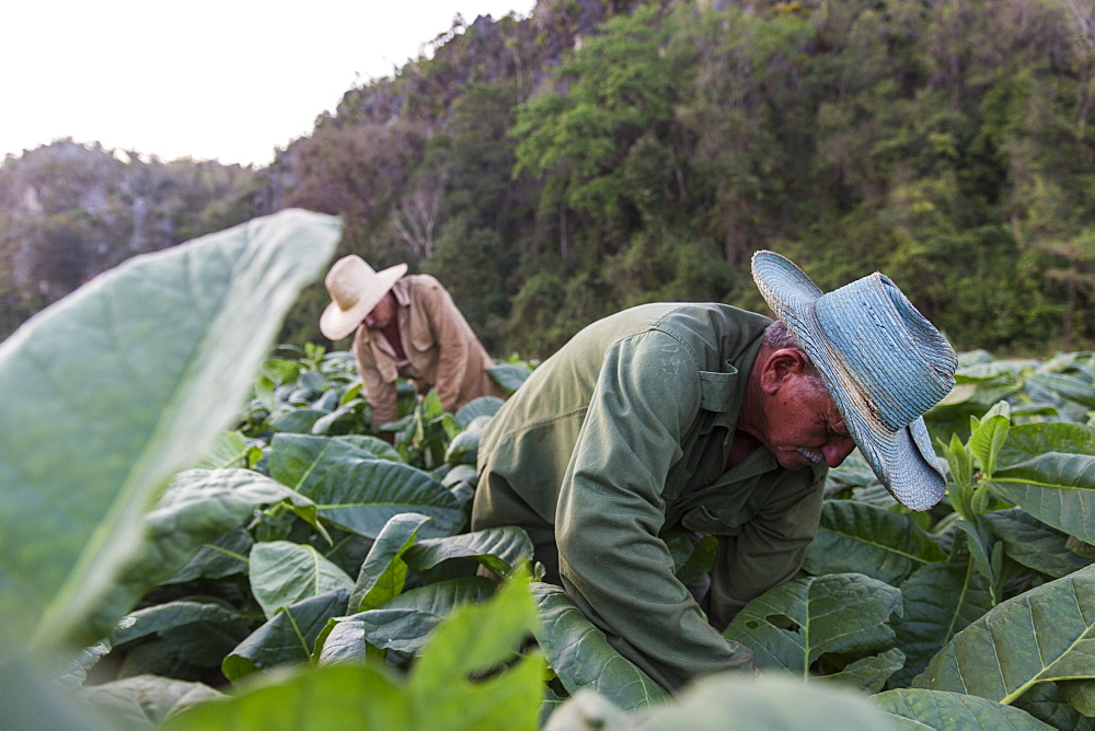 Two men harvesting tobacco leaves in plantation, Vinales, Pinar del Rio Province, Cuba