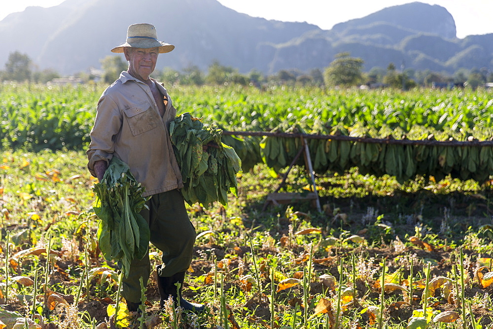 Portrait of mature man harvesting tobacco in plantation, Vinales, Pinar del Rio Province, Cuba