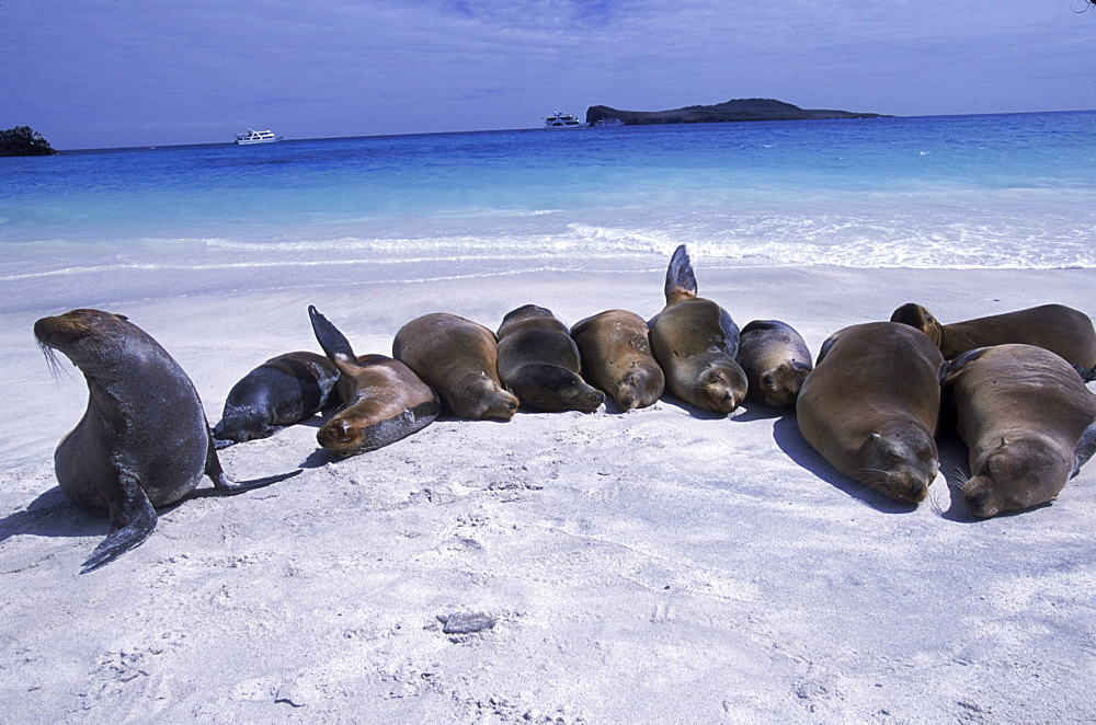 Sea lions on the beach, Galapagos.