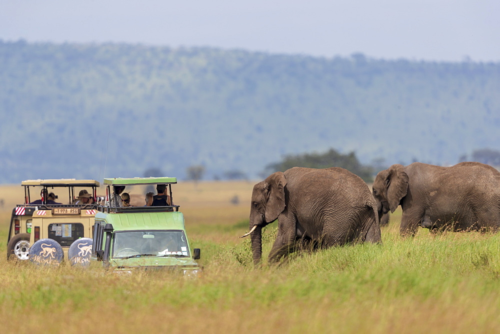 Nature photograph with view of two African elephants?(Loxodonta?africana)?near safari cars, Serengeti National Park, Mara Region, Tanzania