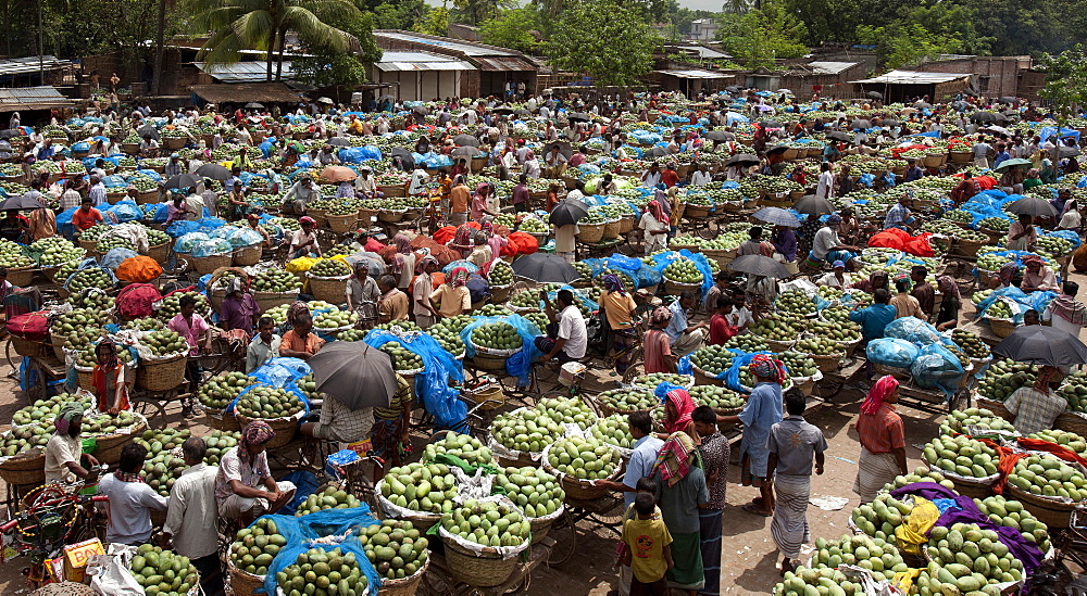 A whole sale mango market at Rajshahi, India