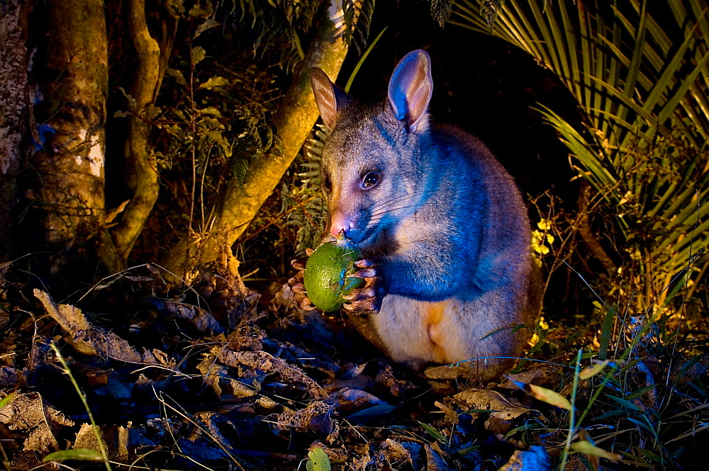 Brushtail possum feeding on fallen fruit, New Zealand