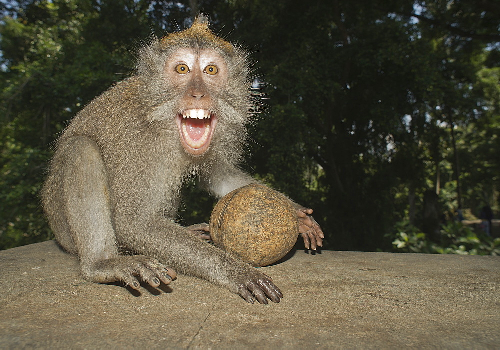 Long tailed macaque showing aggession, Bali Indonesia