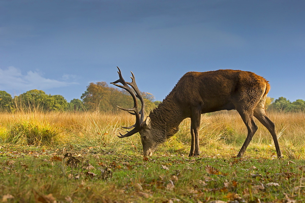 Stag Red Deer feeding in autumn, GB