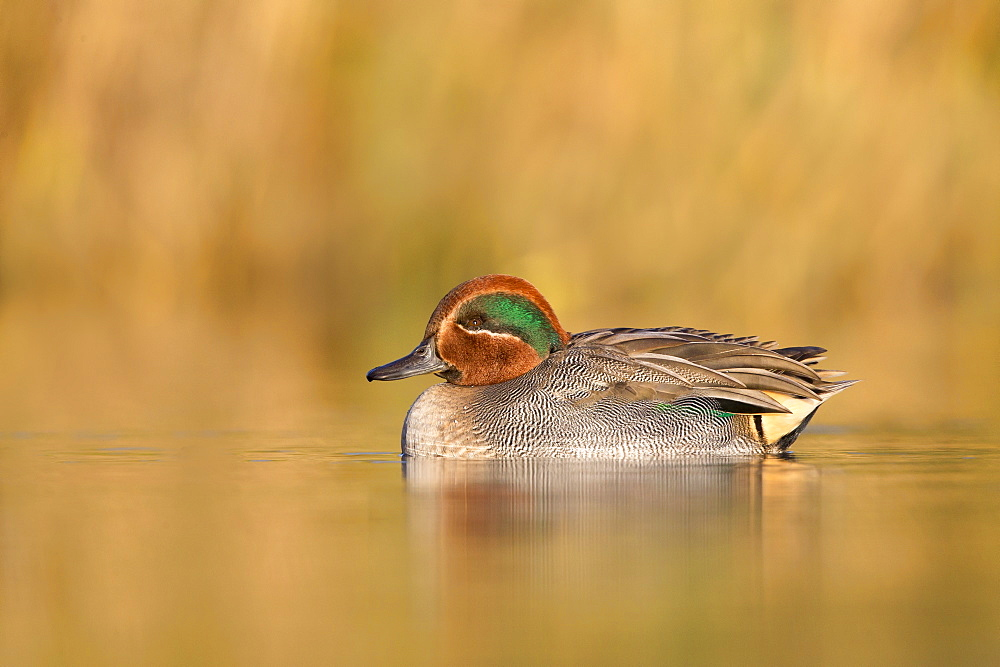 Male Teal swimming on a pond in autumn- GB