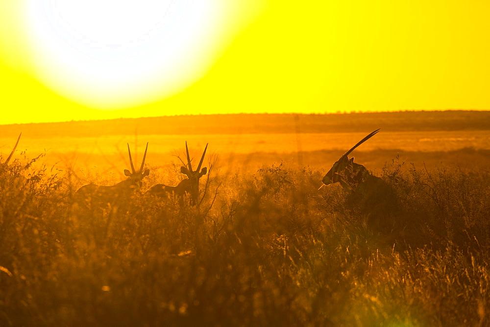 Gemsbok, Kalahari Botswana