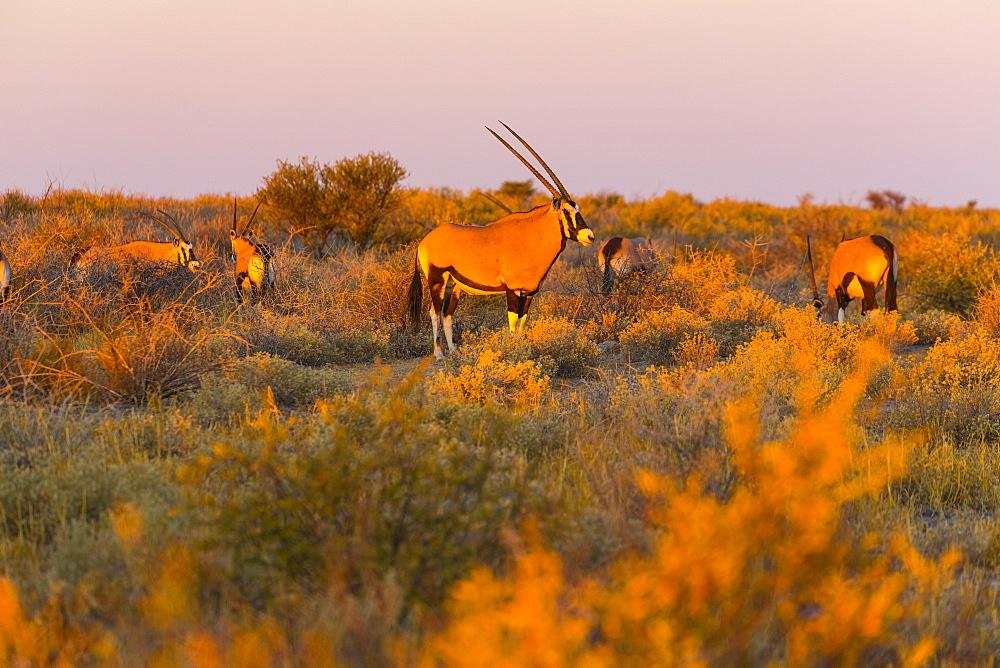 Gemsbok at sunset, Kalahari Botswana