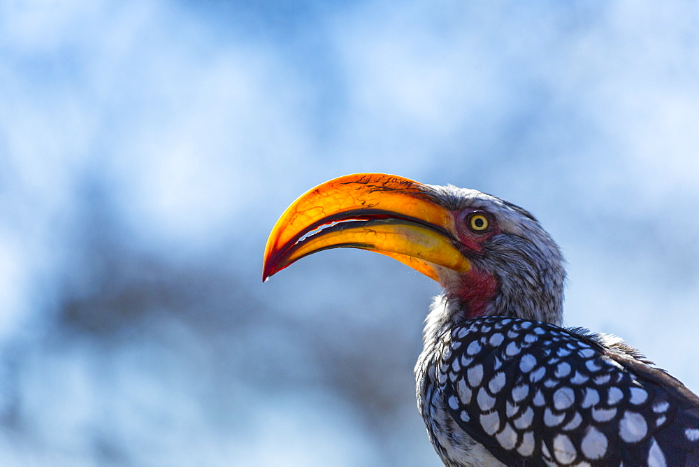 Southern Yellow-billed Hornbill , Kalahari Botswana