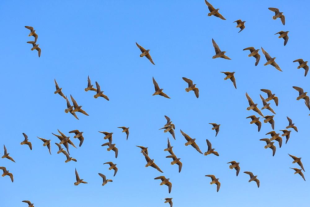 Gangas flight, Kalahari Botswana
