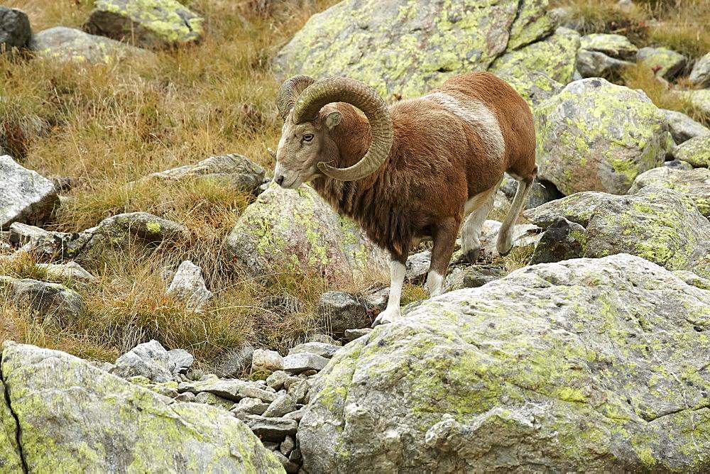 European Mouflon male on rock, Mercantour Alpes France