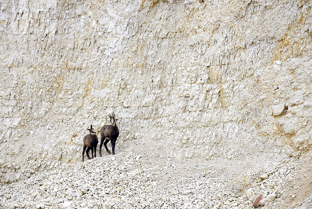 Chamois in a working quarry, Jura France