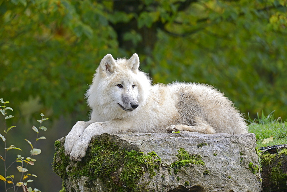 Arctic wolf lying on a rock