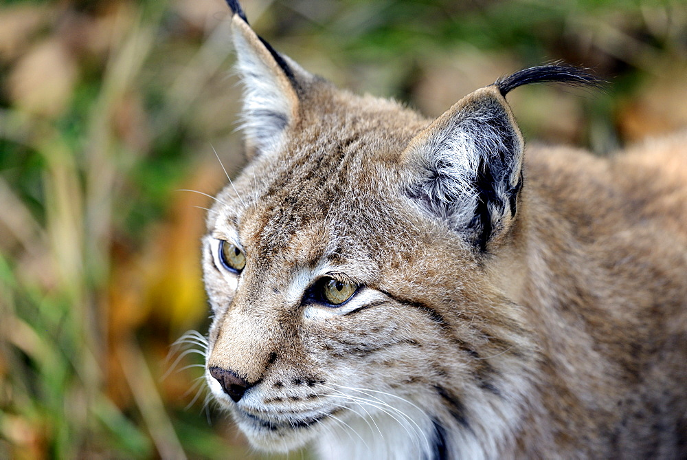 Portrait of Eurasian lynx