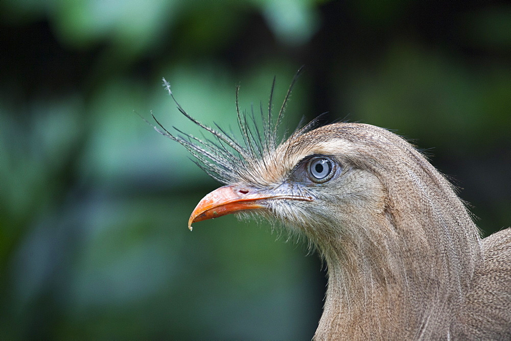 Portrait of Red-legged Seriema, Parana Brazil