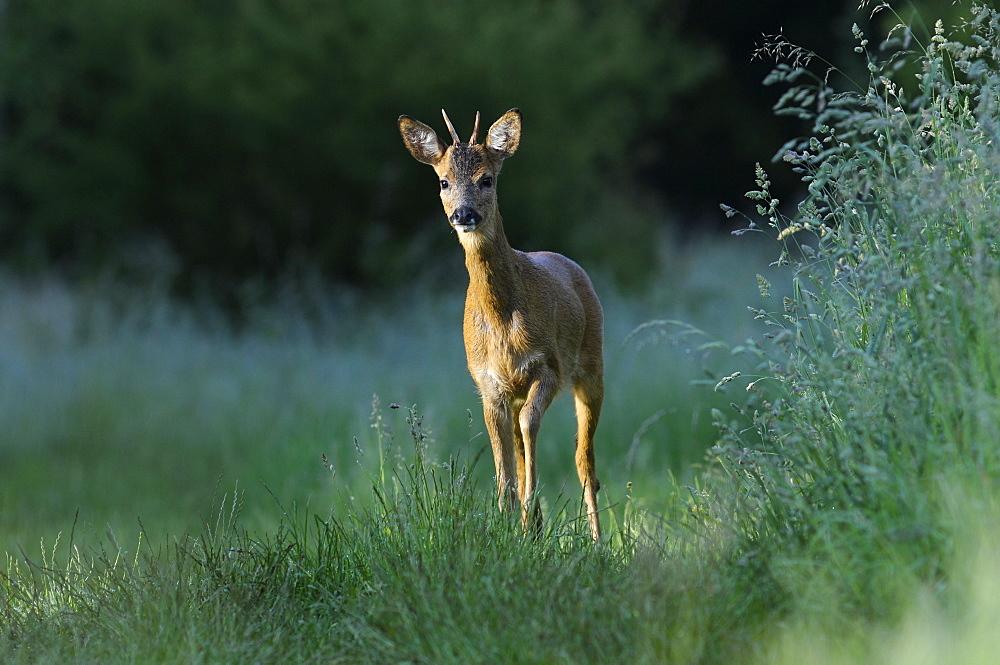 Roe Deer in the grass, Haute Vallée de Chevreuse France