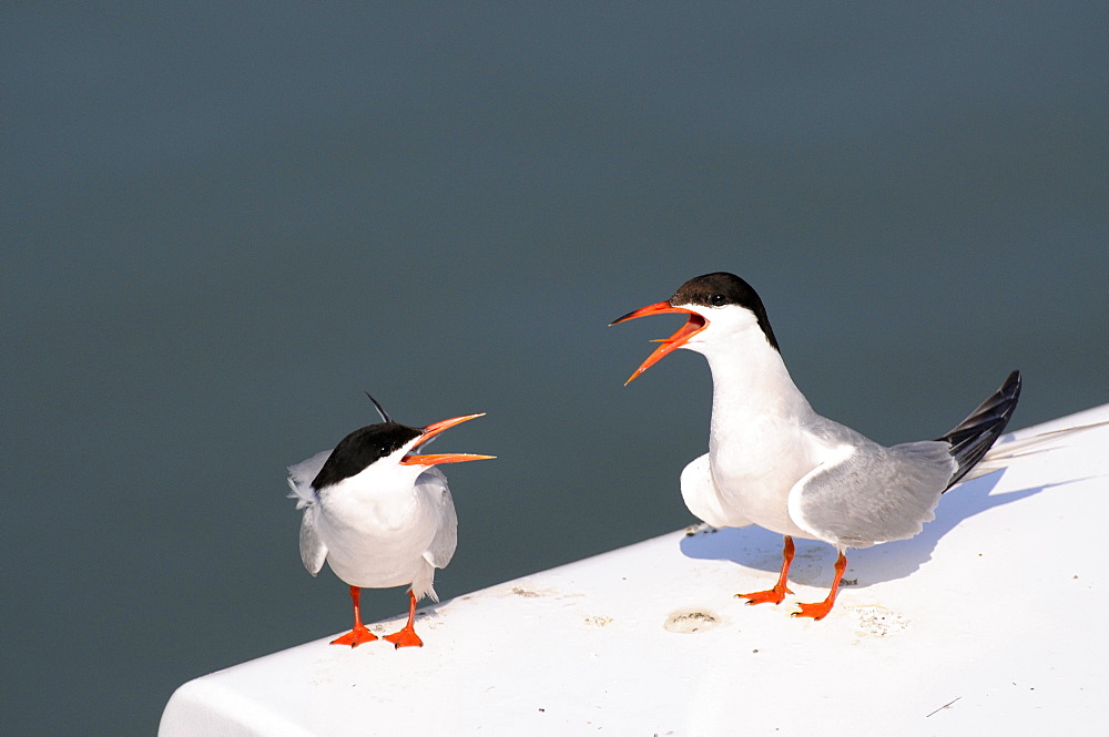 Tern and young communicating, France