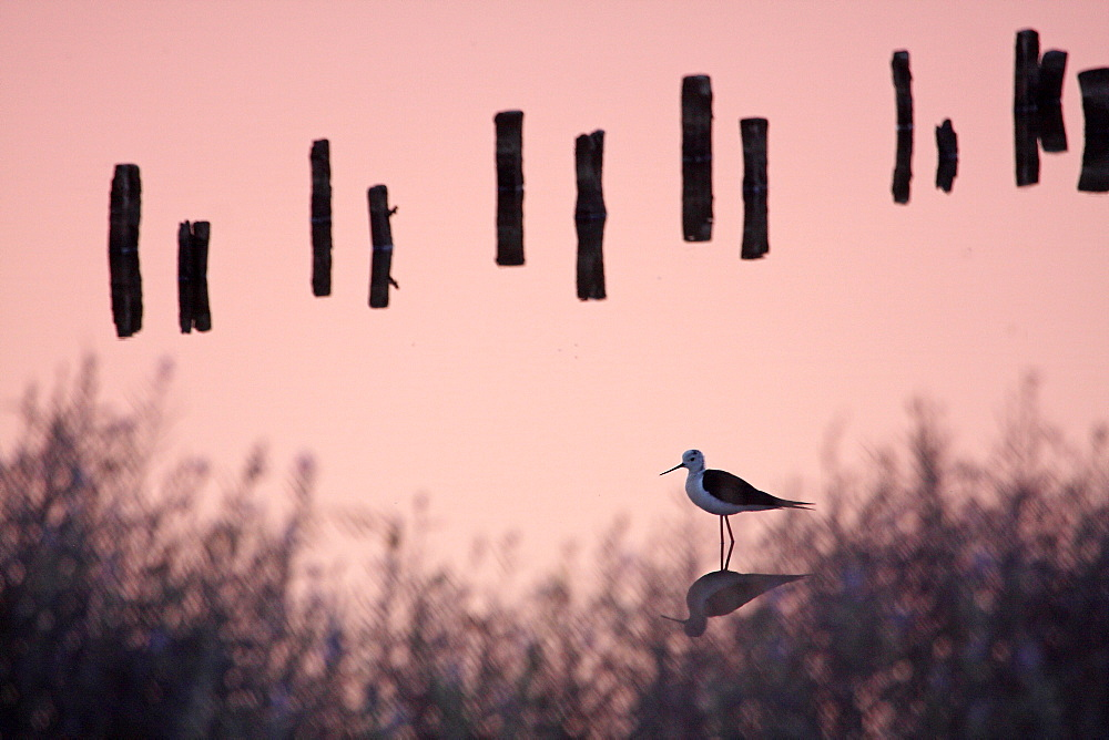 White Stilt and picket in a coastal marsh, France