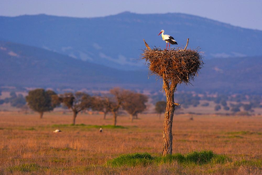 White Stork in nest, Cabañeros NP  Montes de Toledo  Spain