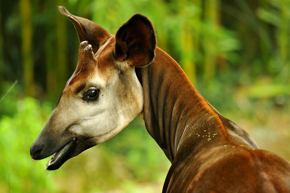 Portrait of Okapi, Zoo de Doue la Fontaine France