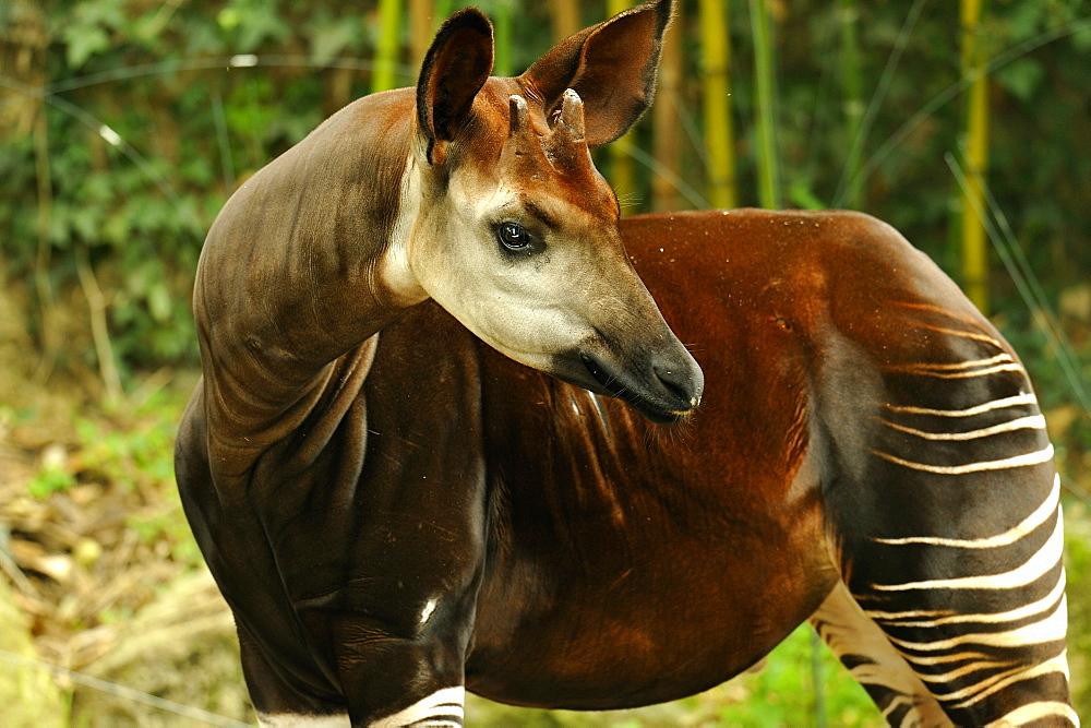 Okapi in a pen, Zoo de Doue la Fontaine France