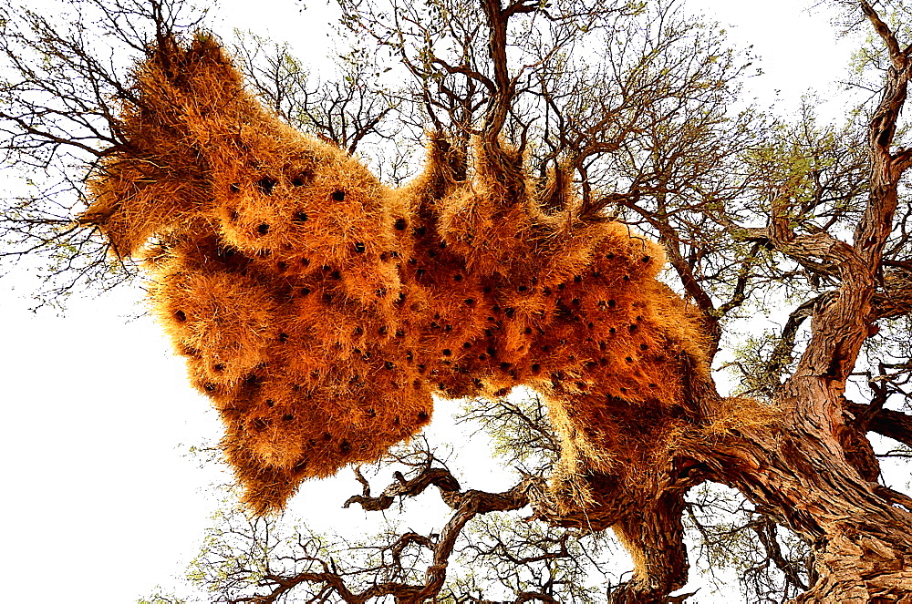 Sociable Weaver nests on a tree, Namibia