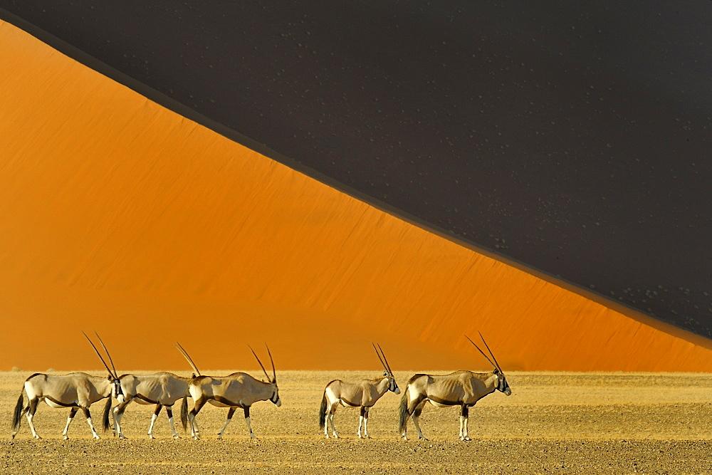 Gemsbok before a dune, Namib Desert Namibia