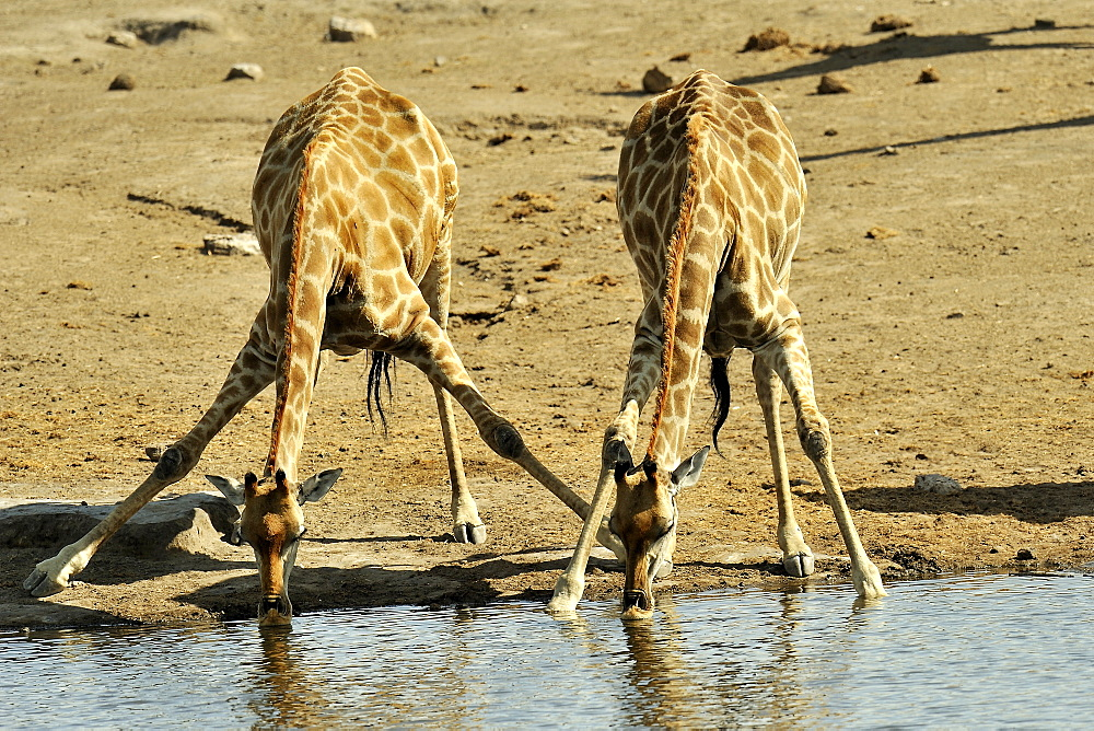 Giraffes drinking at the waterhole, Etosha Namibia