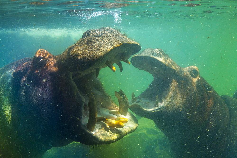Hippos underwater Bioparc Valencia, Spain