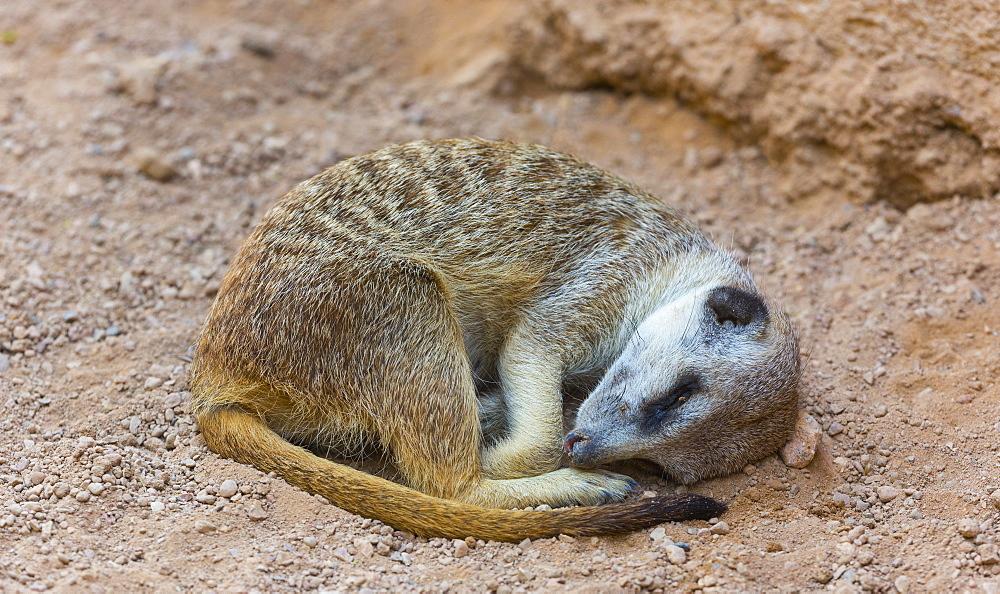 Meerkat resting on sand