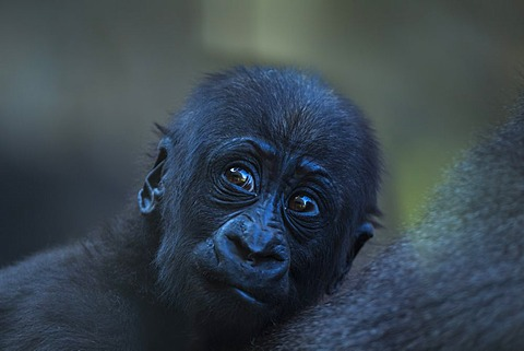 Portrait of young Lowland Gorilla Western