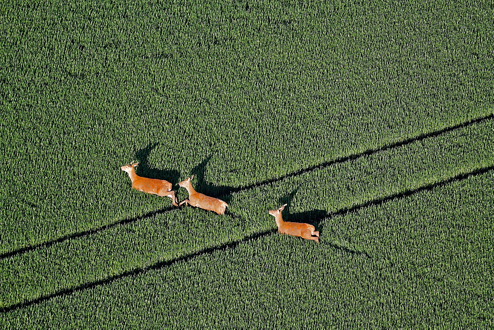 Red deer in a field of wheat, Picardy France