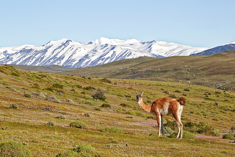 Guanaco in pampa, Torres del Paine National Park  Chile