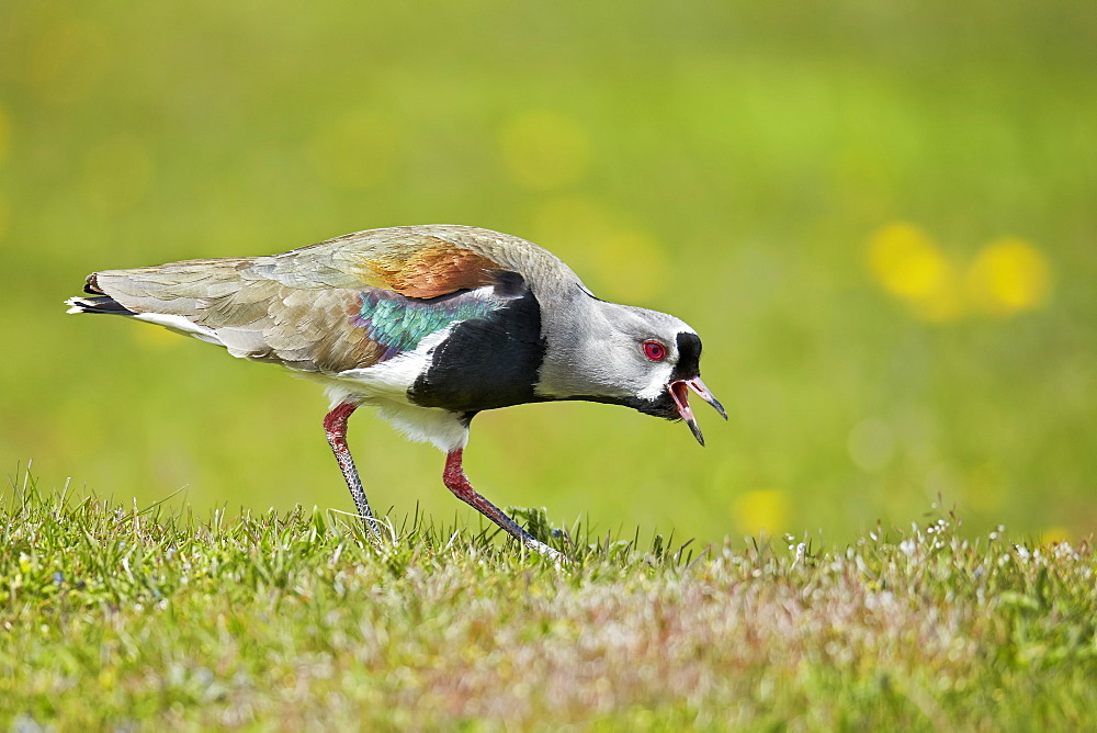 Southern Lapwing on grass, Torres del Paine NP Chile