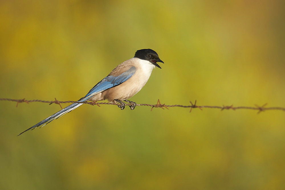 Azure-winged Magpie on barbed wire, Extremadura Spain