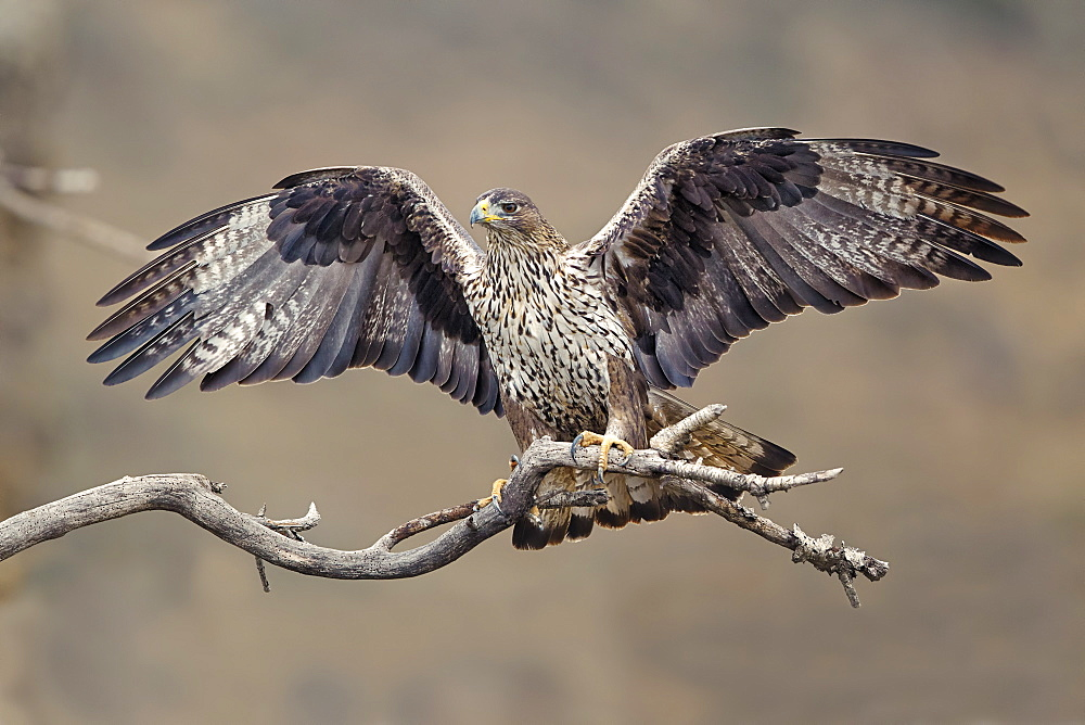 Bonelli's Eagle third-year female on branch, Aragón Spain