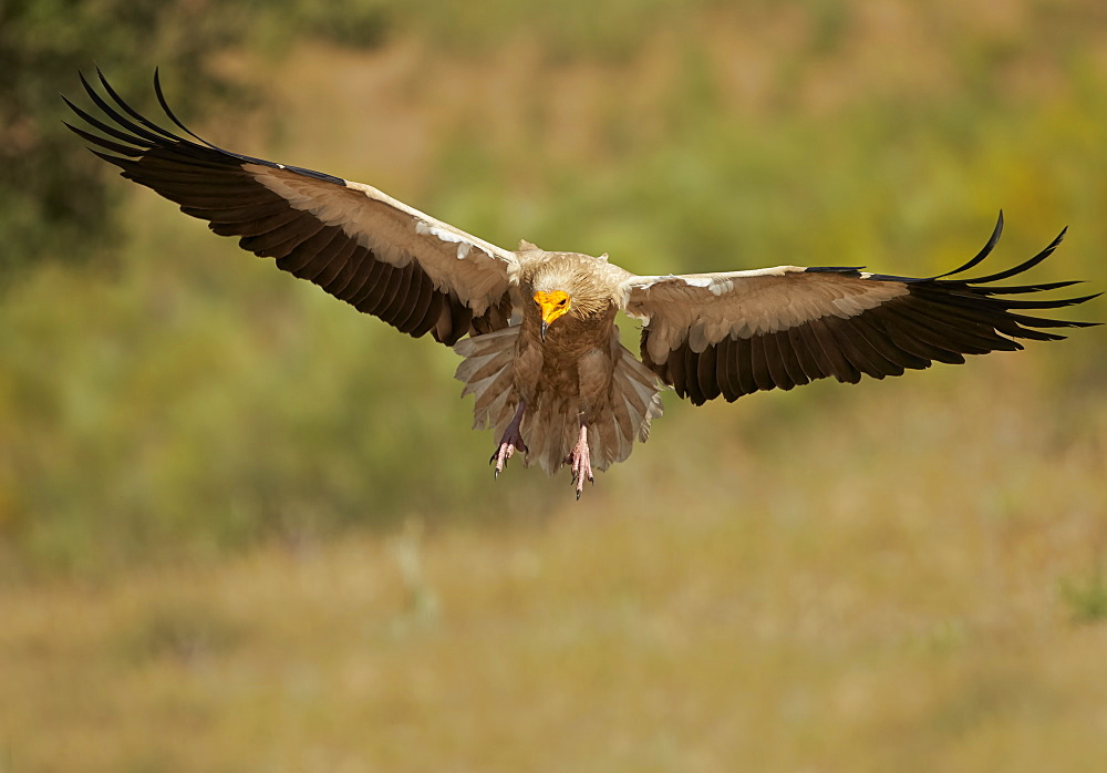 Egyptian Vulture landing, Extremadura Spain