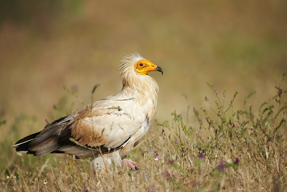 Egyptian Vulture on ground, Extremadura Spain