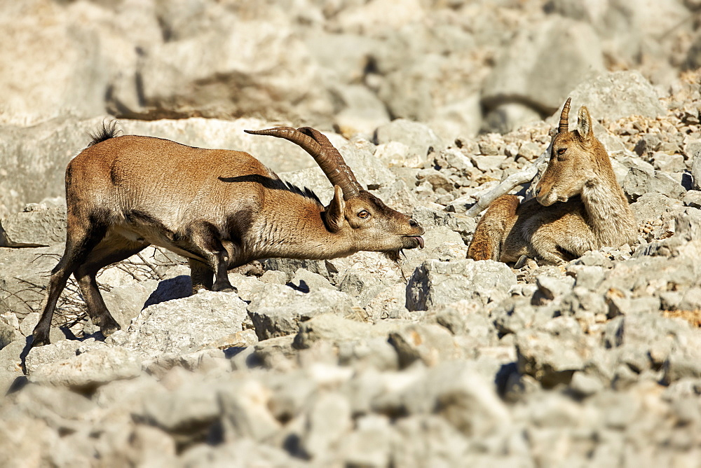 Spanish Ibex young male approaching female during rut -Spain